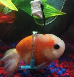 泳げなくなった金魚のための「車椅子」ネットで称賛の声