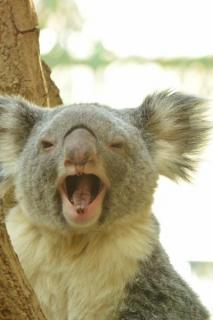 新型コロナウイルス感染源でコアラの肉が売られていることが判明!