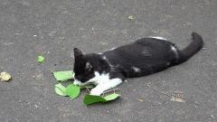 「マタタビは蚊よけ」 猫の習性、岩手大が解明 米科学誌に発表のイメージ画像