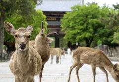 奈良のシカ死なせた疑いで逮捕 20代男、文化財保護法違反