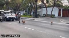 【癒やしの動画】タイのお巡りさん、横断する犬のために交通整理のイメージ画像