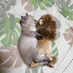 喧嘩するほど仲が良い ライオンちゃんと眠る子猫がマジ天使のイメージ画像