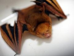 絶滅危機1級の「黄金コウモリ」、失神状態で発見も結局死ぬ=韓国