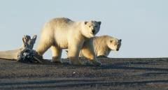 ホッキョクグマ、気候変動で絶滅の恐れ... しかし、新種のクマが出現!のイメージ画像