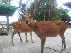 「新型コロナウイルス」のとばっちり!奈良公園の鹿が狂暴化―飛びついたり噛んだり