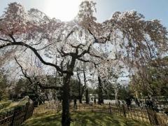 京都の桜の満開、今年はこの1200年間で最速だったと判明のイメージ画像