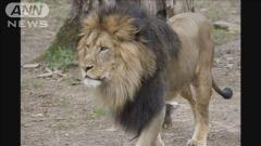 米動物園 園内全てのライオン・トラがコロナ感染のイメージ画像