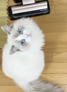 掃除機ぎらいの猫が抗議行動 座り込みして「使わないで」アピール