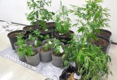SNSで「ヤサイ」「クサ」、隠語で客募り大麻密売…高校生ら所持容疑で逮捕 福岡