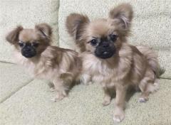 ペットのクローン販売、中国で拡大 犬580万円、猫380万円…「生命の尊厳を脅かす」規制求める声も