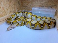 横浜市で逃走したアミメニシキヘビの写真がこれだ。体重13キロ、「見つけても近づかないで」のイメージ画像
