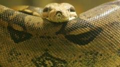 消えた巨大ニシキヘビ 14日に捜索打ち切りも…現場にはユーチューバーも集結のイメージ画像