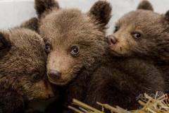 研究林 クマ一時「絶滅」 北大生ら幌延で長期調査 春の駆除 影響裏付けのイメージ画像