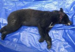 富山・高岡の高校にクマ侵入 射殺、けが人なし