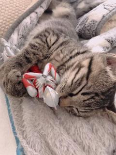 ウルトラマンは心の友 肌身離さず過ごす子猫が尊いのイメージ画像