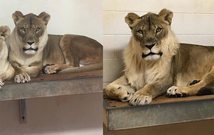 突然たてがみが生え始めた18歳のメスライオン、動物園が困惑 米