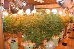 マンション住み込み、24時間態勢で大麻栽培…容疑で密売グループ12人逮捕 福岡市のイメージ画像