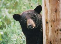 庭先でクマに襲われる 70代女性がけが/岩手・矢巾町のイメージ画像