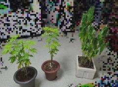 保育園に なぜ「大麻が」?…コロナが招いた「麻薬界の変化」=韓国