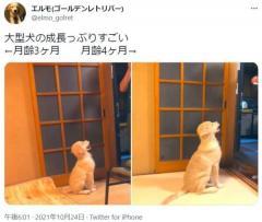 たった1か月でこの違い ゴールデンレトリバーの子犬の成長に飼い主びっくりのイメージ画像