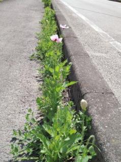 違法ケシ、除去してもまた自生 熊本市で目撃相次ぐのイメージ画像