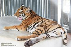 タイには177頭のインドシナトラが生息のイメージ画像